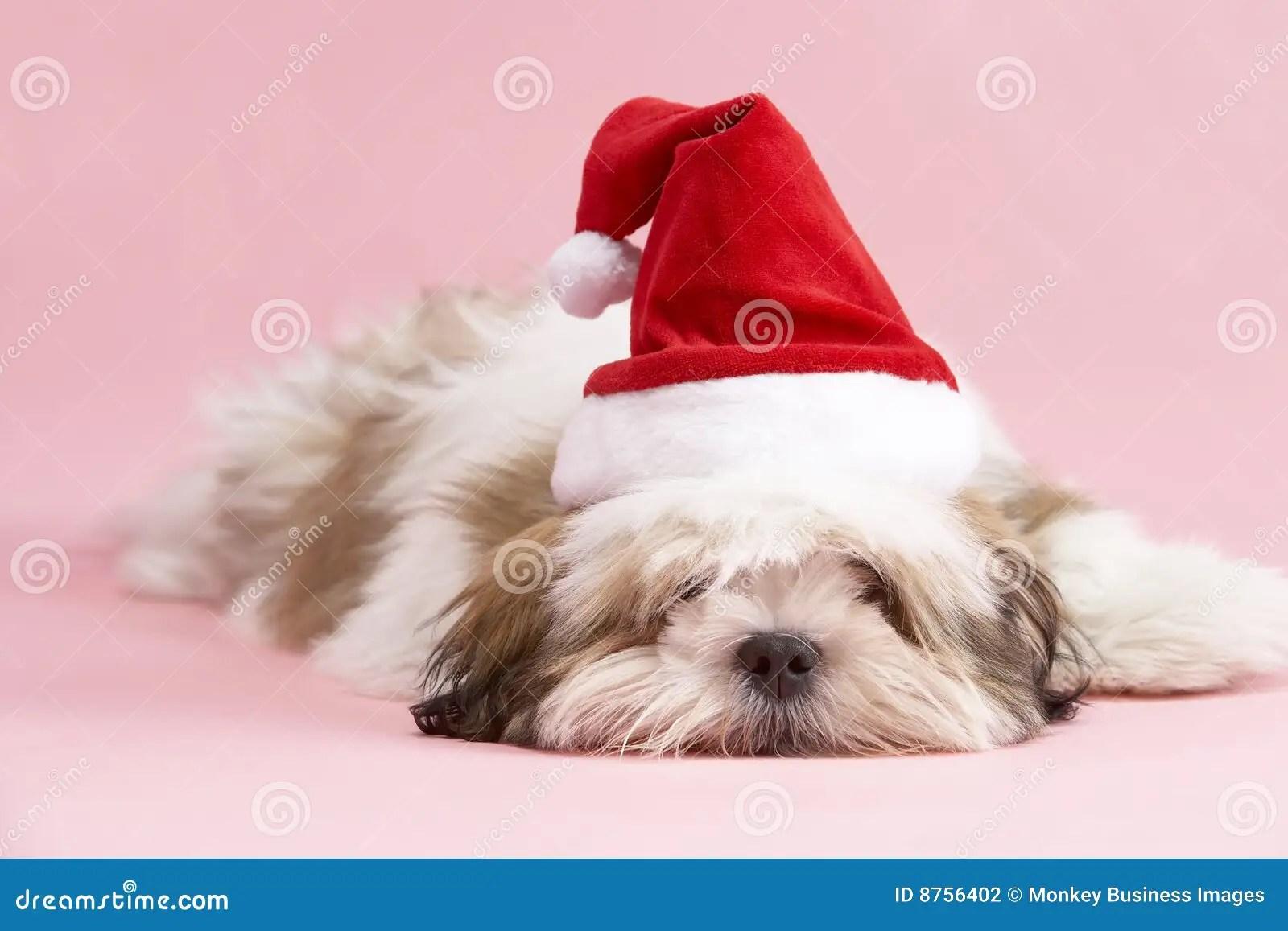 Lhasa Apso Dog Wearing Santa Hat Stock Photo Image Of