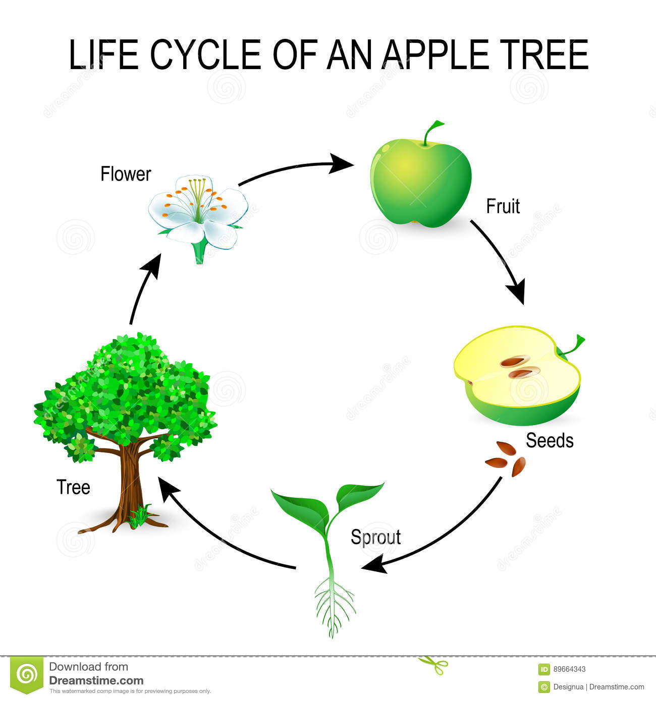 Life Cycle Of An Apple Tree Stock Vector