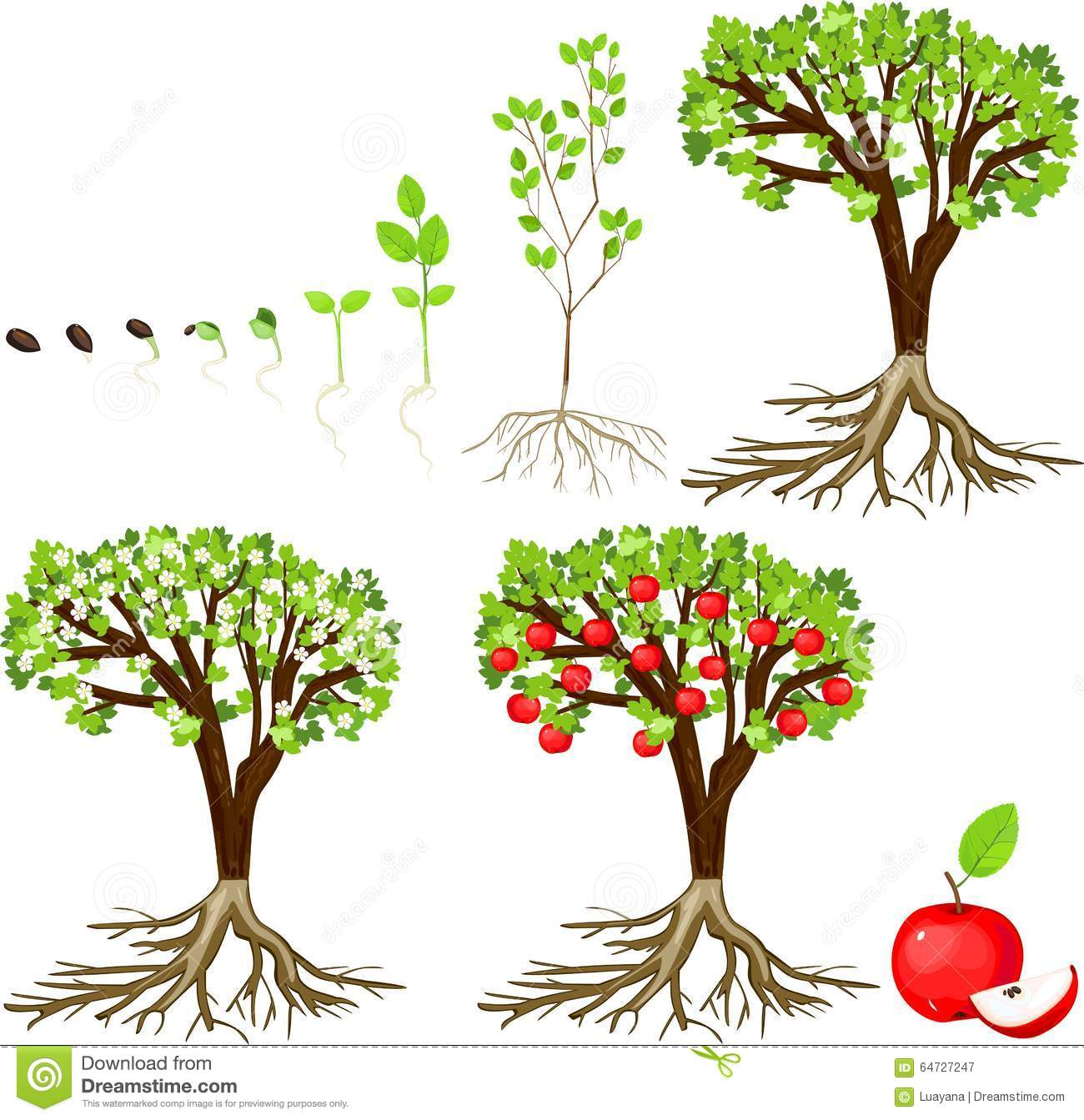 Life Cycle Of Apple Tree Stock Vector