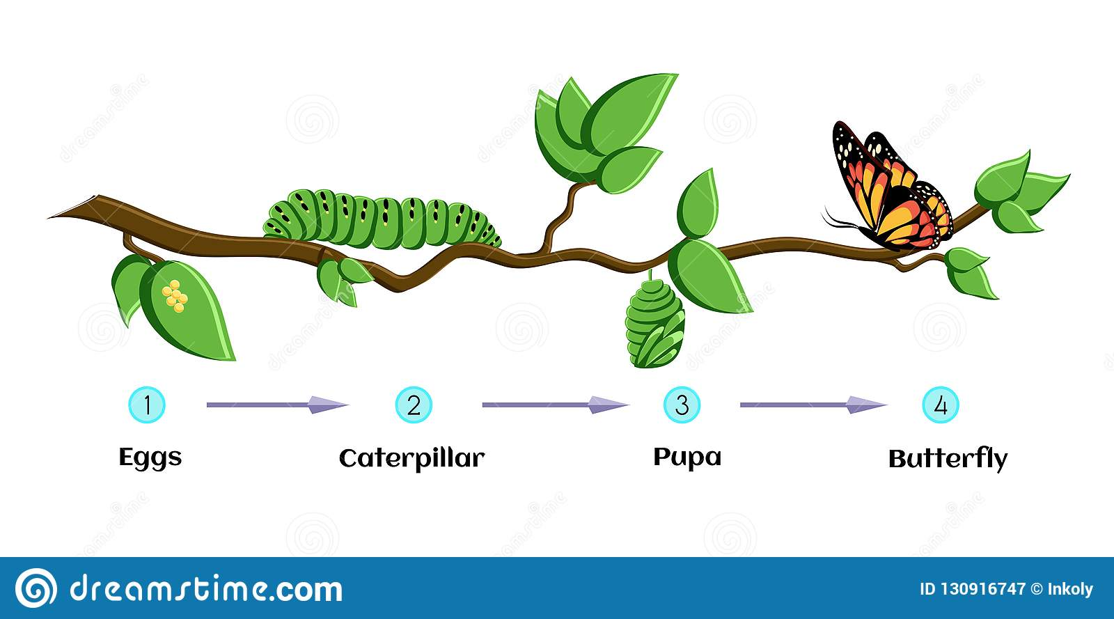 Life Cycle Of Butterfly Eggs Caterpillar Pupa Butterfly