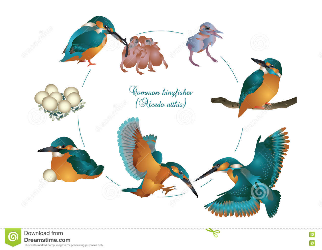 Life Cycle Of Common Kingfisher Stock Illustration
