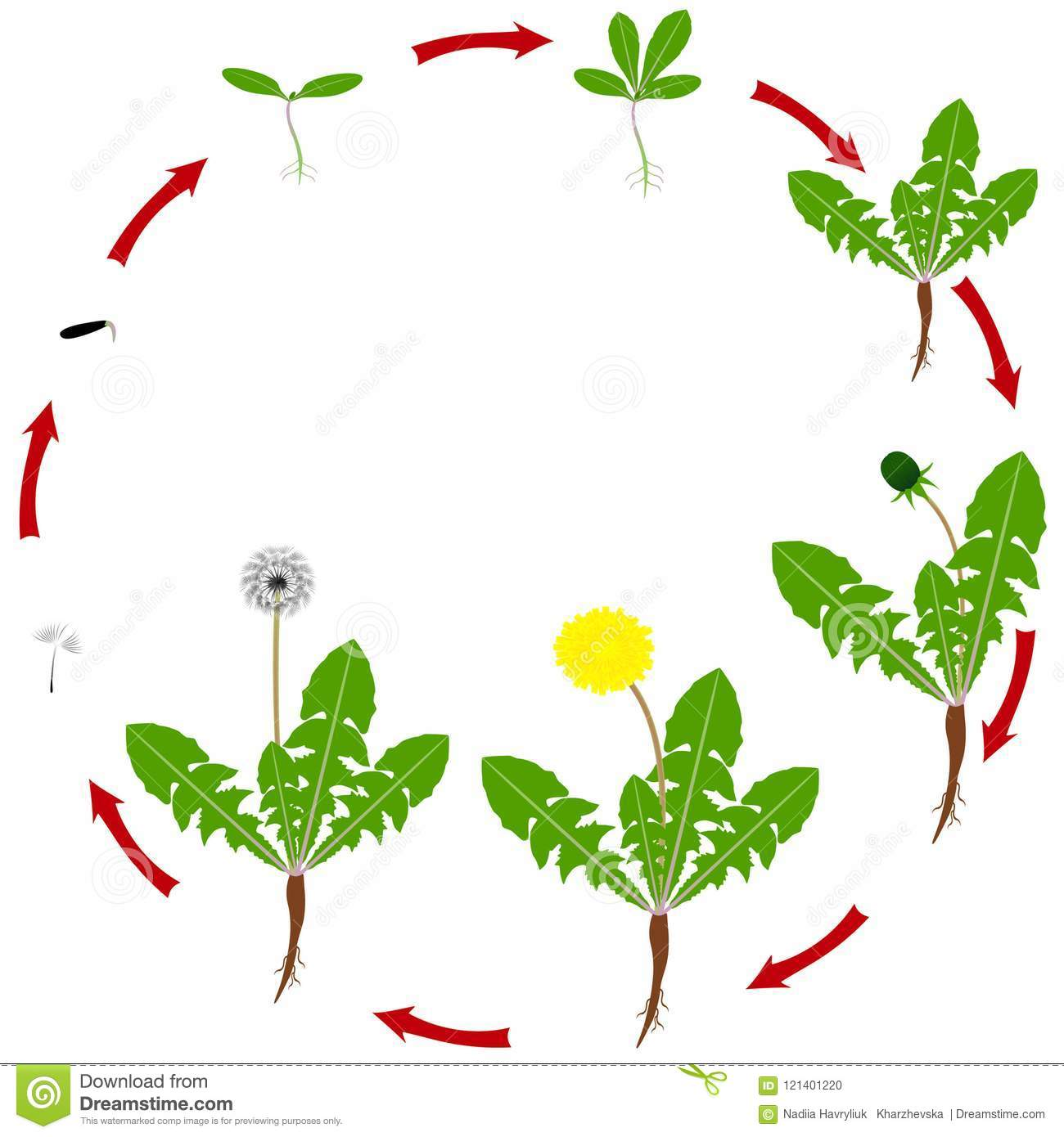 Life Cycle Of Dandelion Cartoon Vector