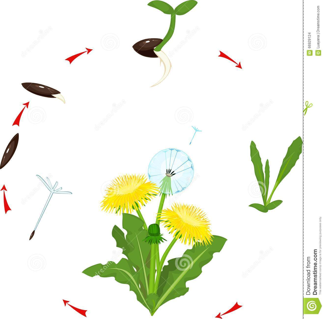 Life Cycle Of Dandelion Stock Vector