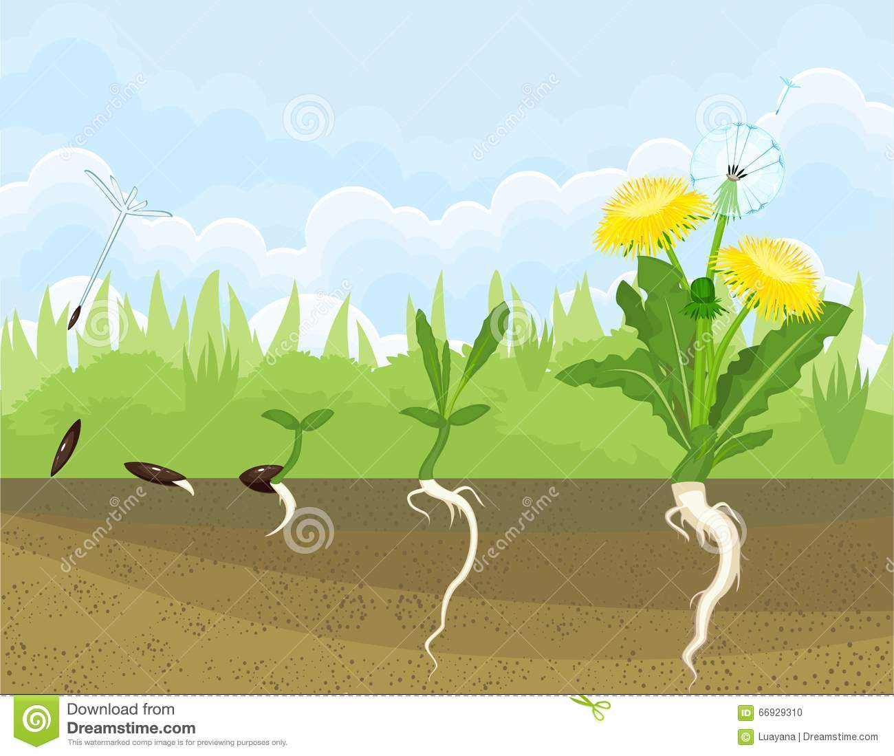 Life Cycle Of Dandelion Stock Vector Illustration Of Leaf