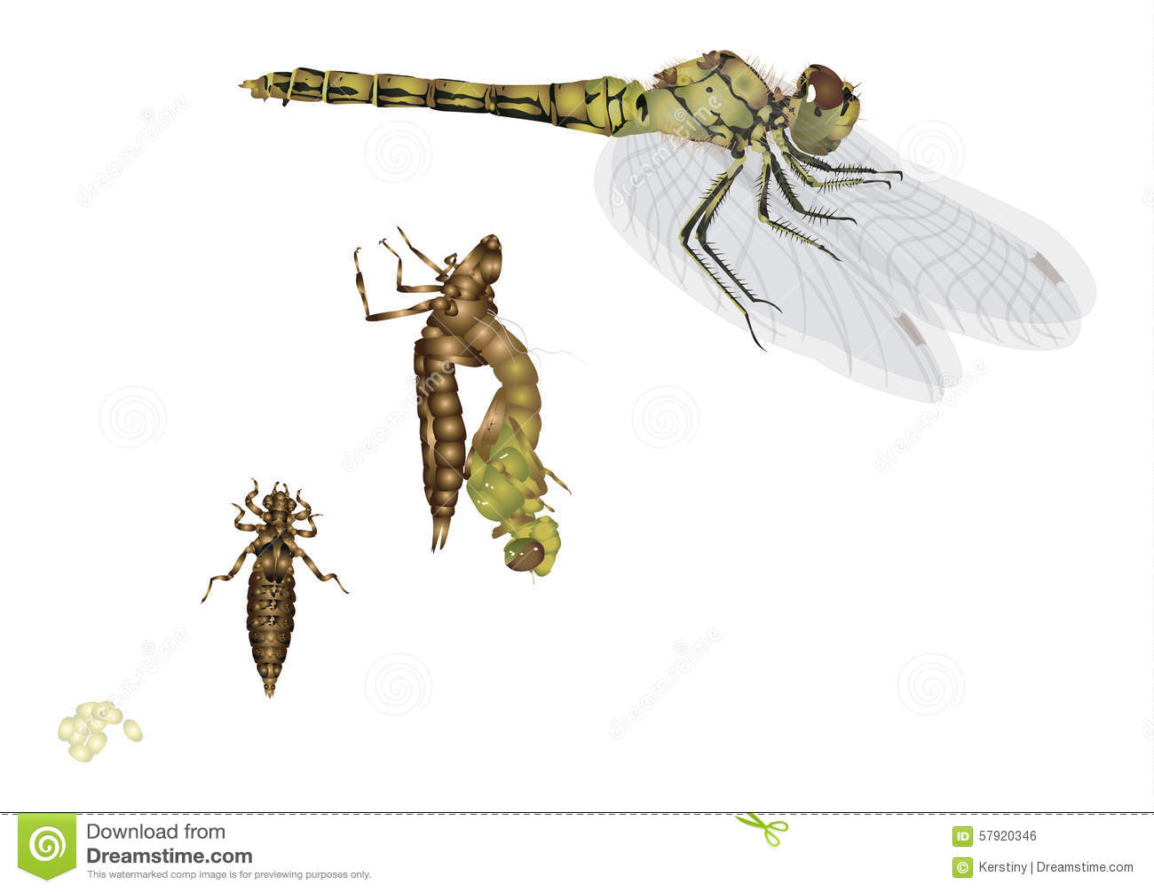 Life Cycle Of Dragonfly Stock Illustration