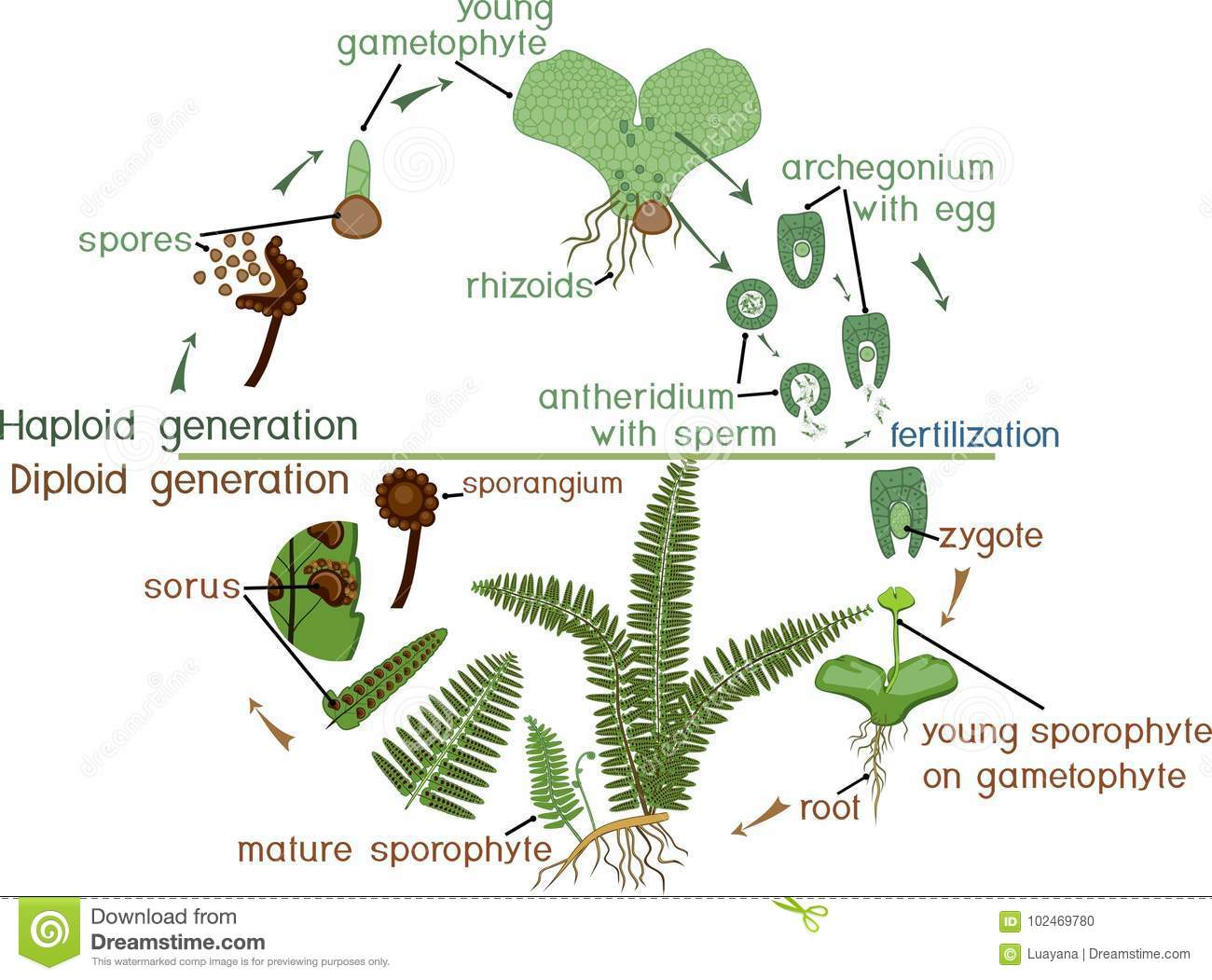 Life Cycle Of Fern Plant Life Cycle With Alternation Of
