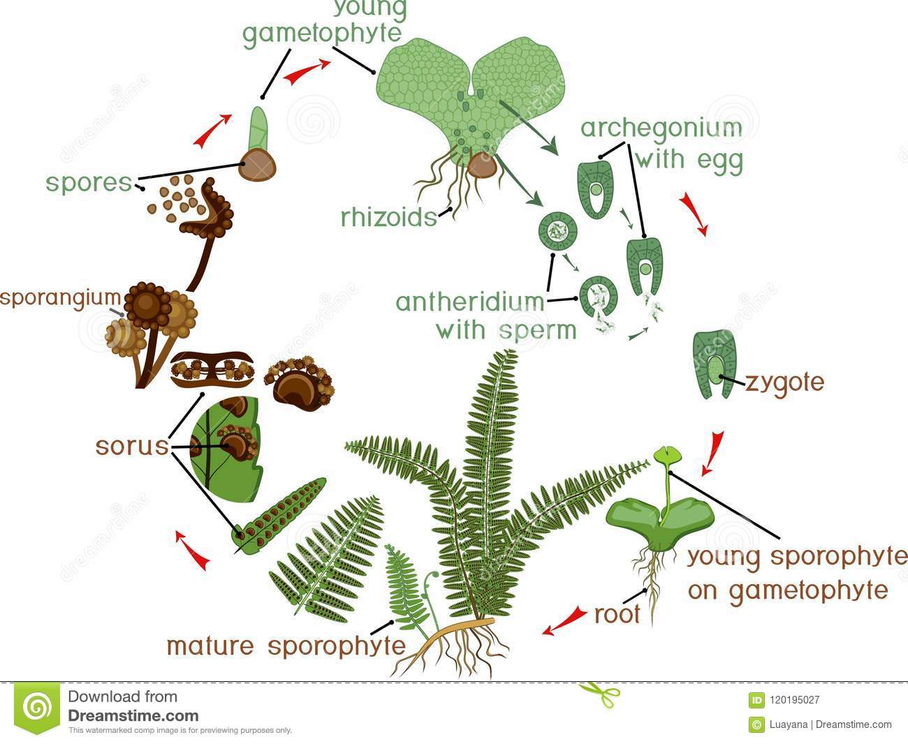Life Cycle Of Fern Stock Vector Illustration Of