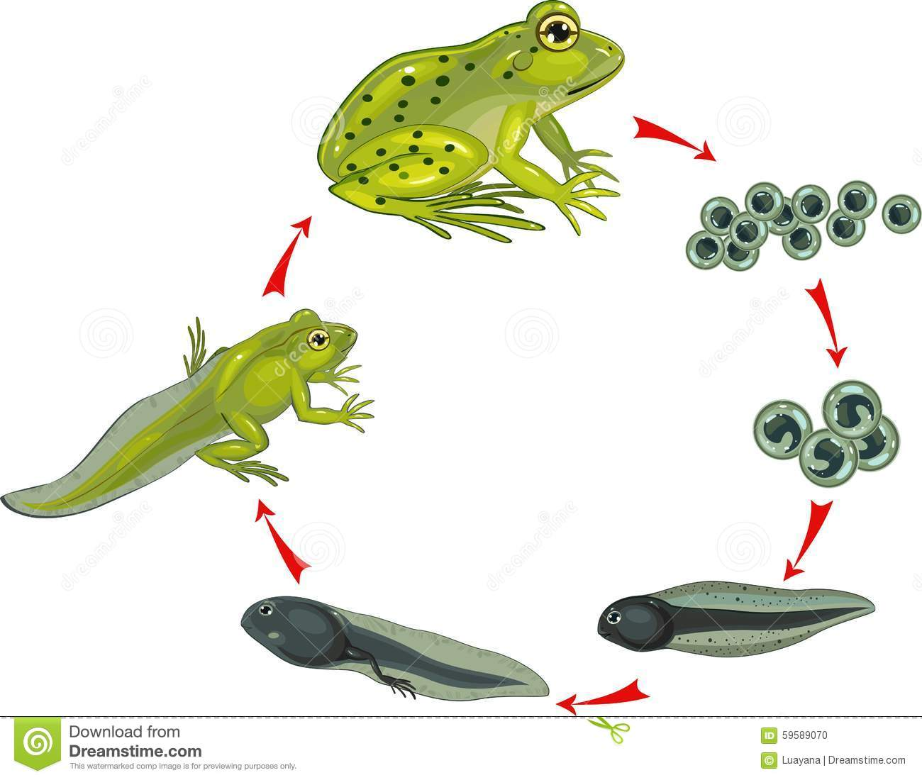Life Cycle Of Frog Stock Vector Illustration Of Biology
