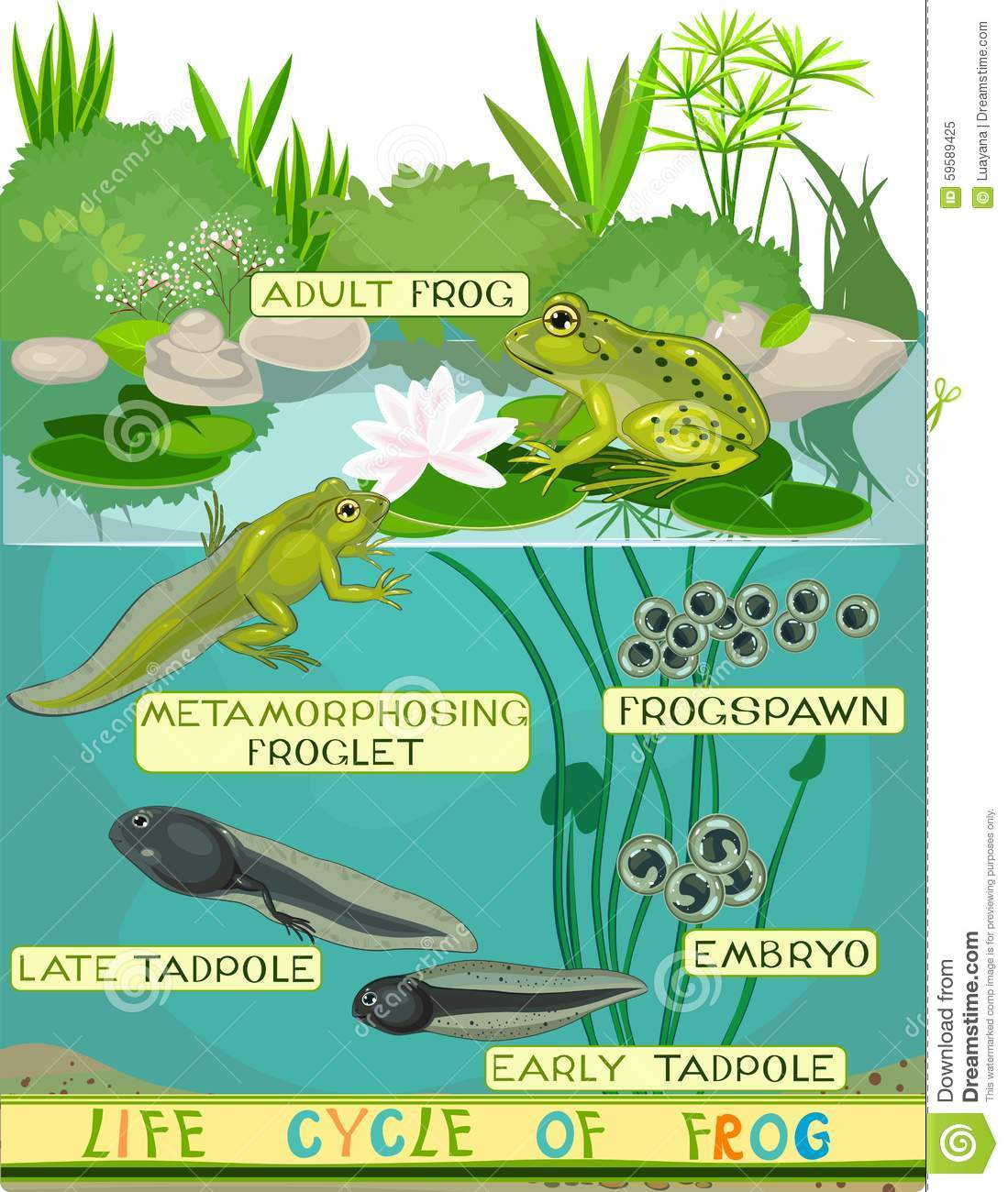 Life Cycle Of Frog Stock Vector