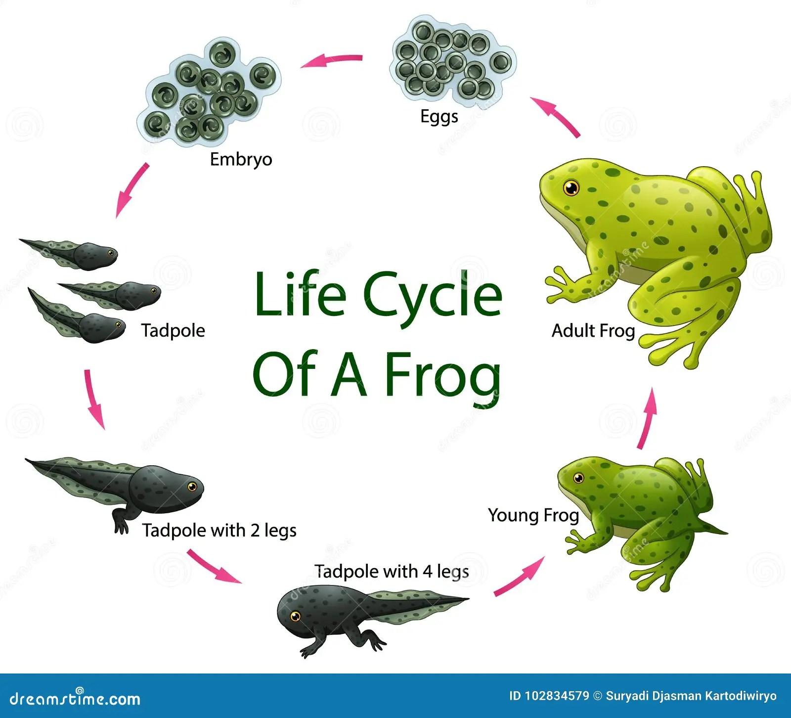 Life Cycle Frog Stock Illustrations 137 Life Cycle Frog