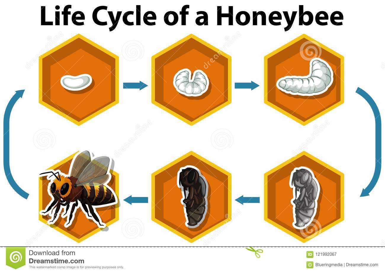 Life Cycle Of A Honeybee Stock Vector Illustration Of