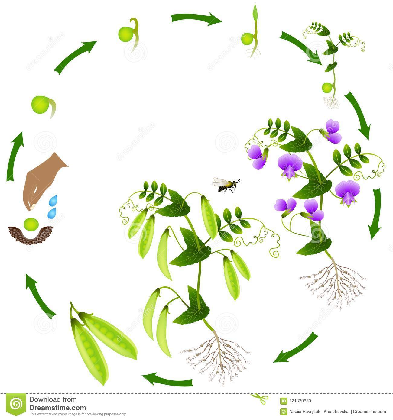 The Life Cycle Of A Pea Plant Is Isolated On A White