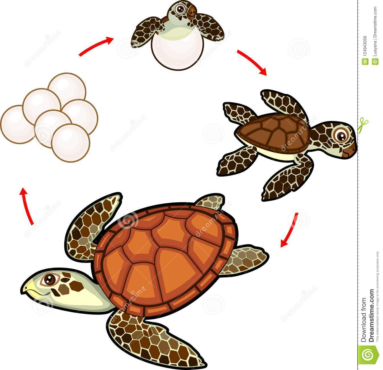 Life Cycle Of Sea Turtle Sequence Of Stages Of Development Of Turtle From Egg To Adult Animal