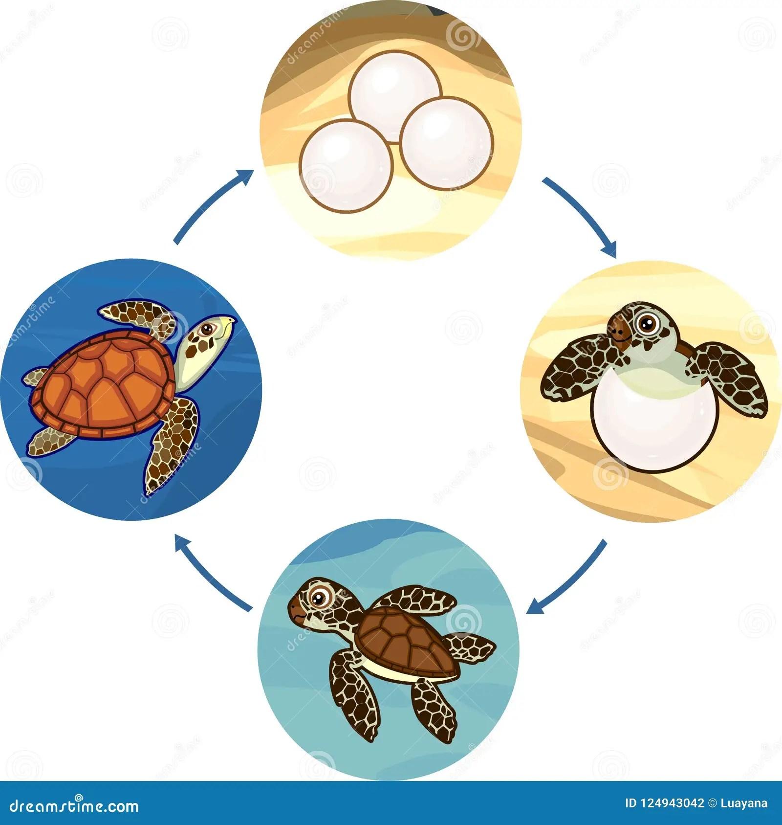 Life Cycle Turtle Worksheet