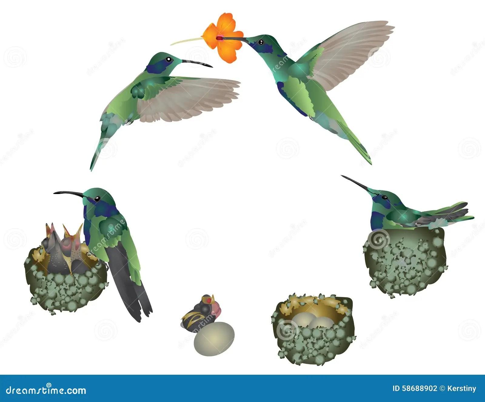 Life Of Hummingbird Stock Illustration
