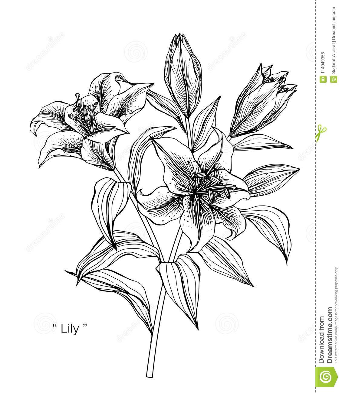 Lily Flower Drawing Illustration Black And White With