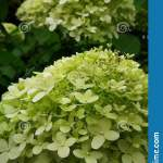 266 Limelight Flowers Photos Free Royalty Free Stock Photos From Dreamstime