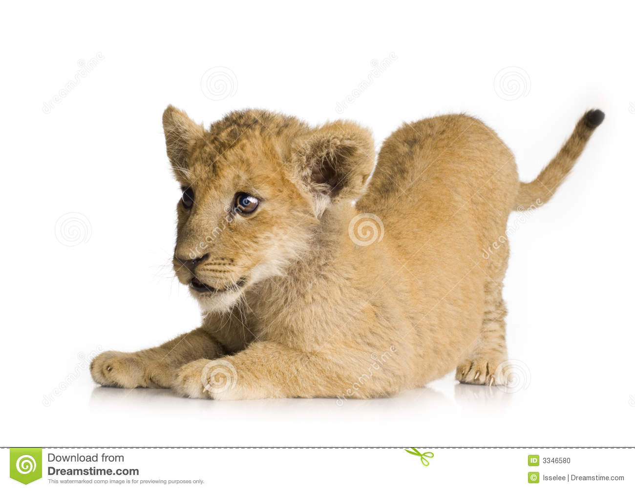 Lion Cub 3 Months Stock Photo Image Of Young Baby