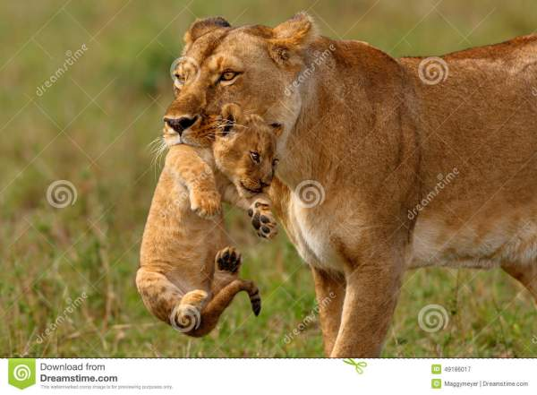Lioness Mother Carries Her Baby Stock Photo Image 49186017