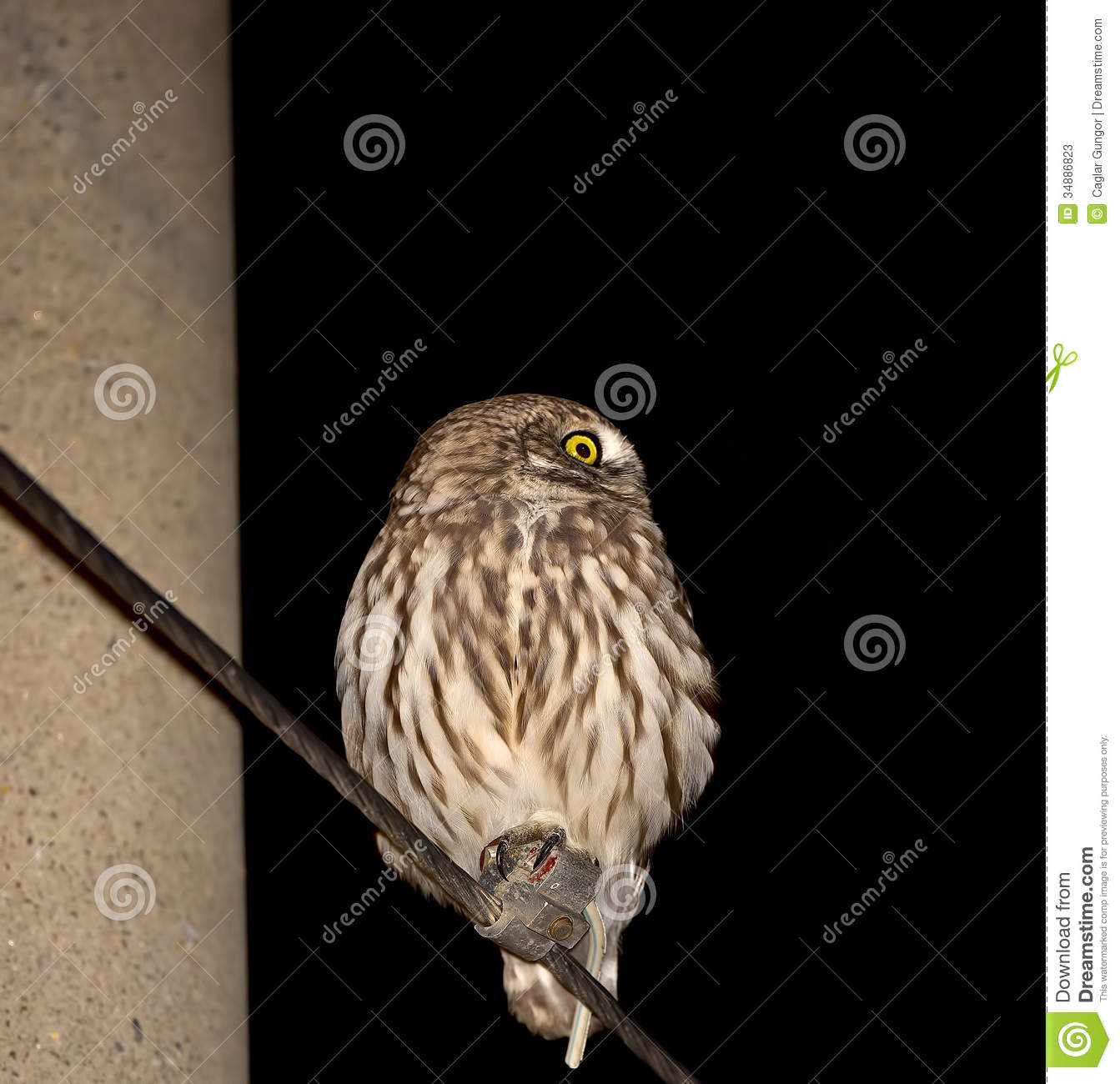 Little Owl At Night Stock Image Image Of Bill Athene