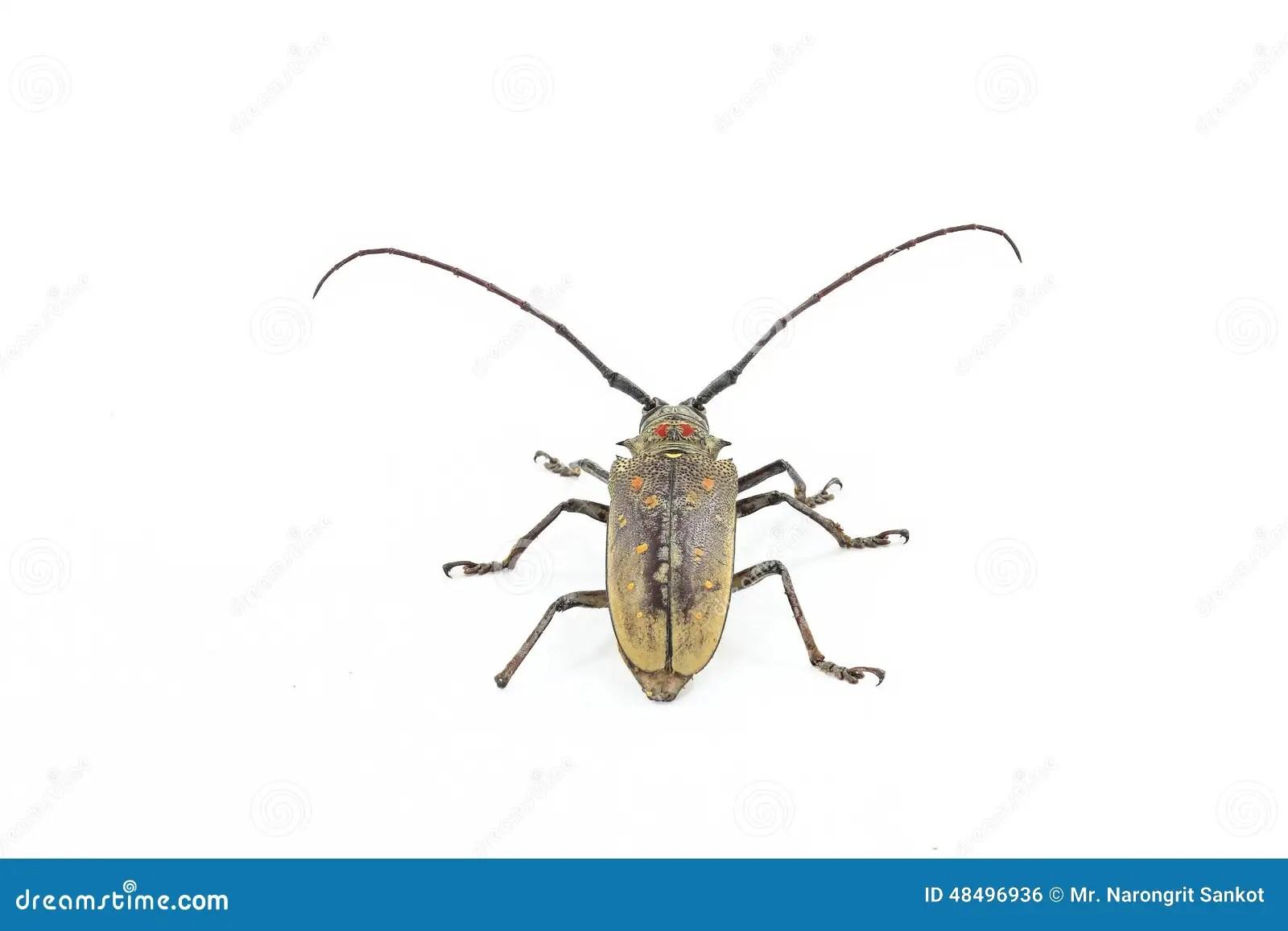 Long Antennae Beetle Stock Photo Image Of Capricorn