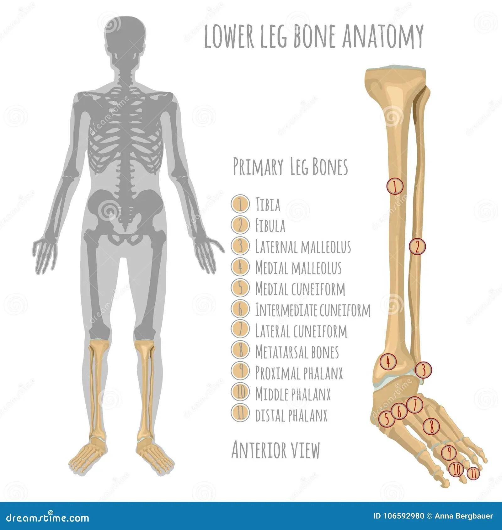 Lower Leg Bone Anatomy Stock Vector Illustration Of Backbone