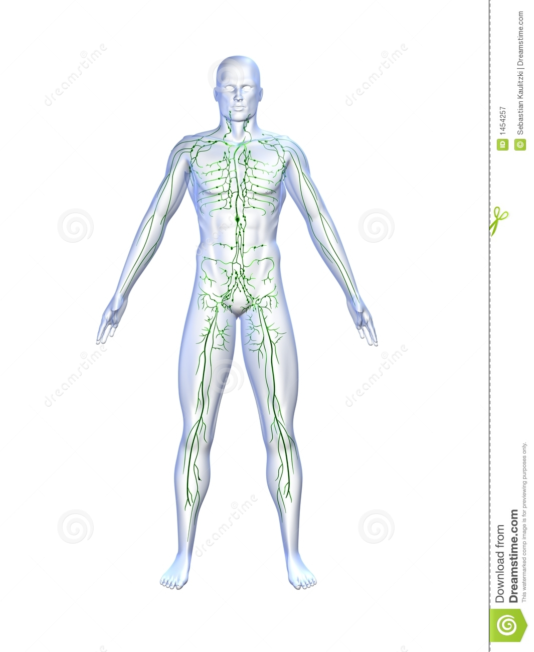 Lymphatic System Stock Illustration Illustration Of