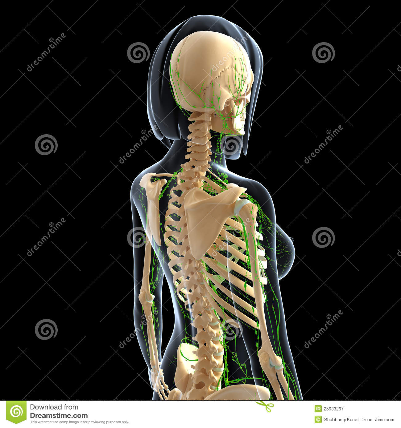 Lymphatic System Of Female Back Side View Royalty Free Stock Photography