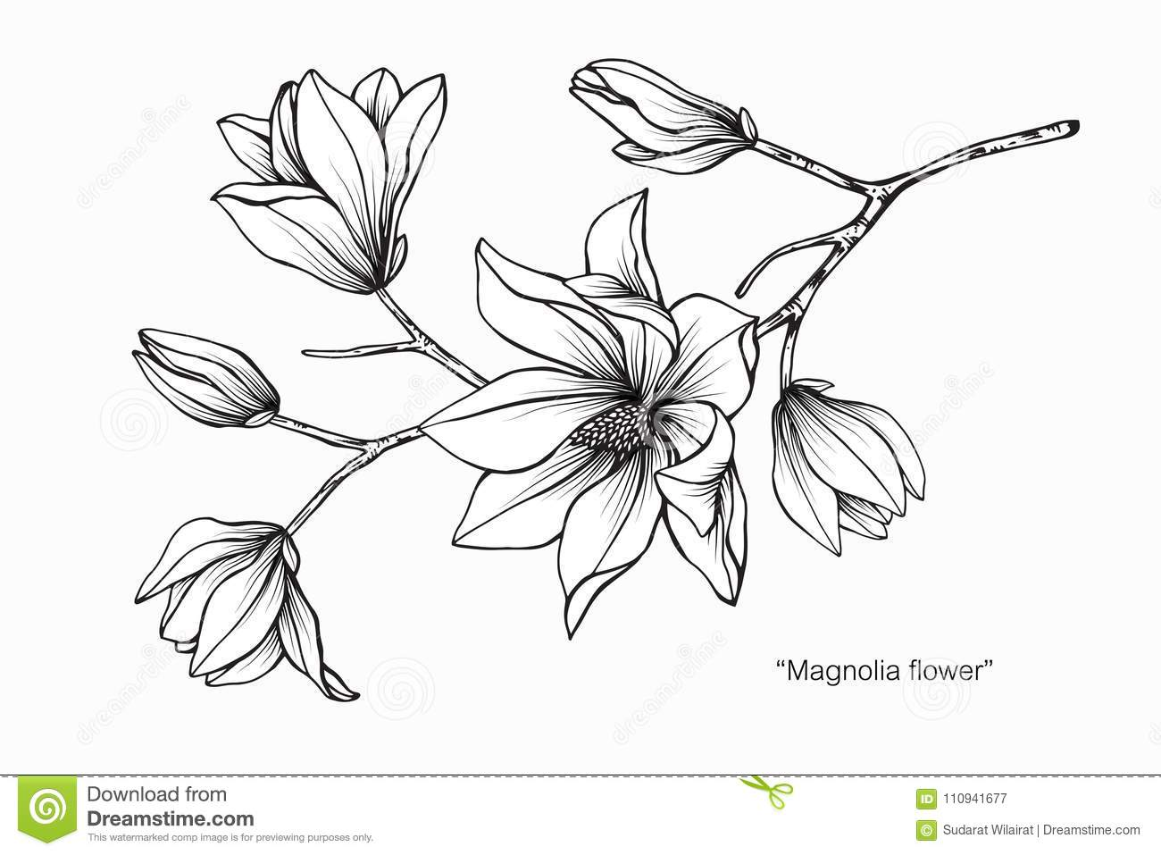 Magnolia Flower Drawing Illustration Black And White With