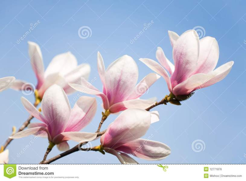 Magnolia flowers on sky stock photo  Image of tree  delicate   12771876 Magnolia flowers on sky