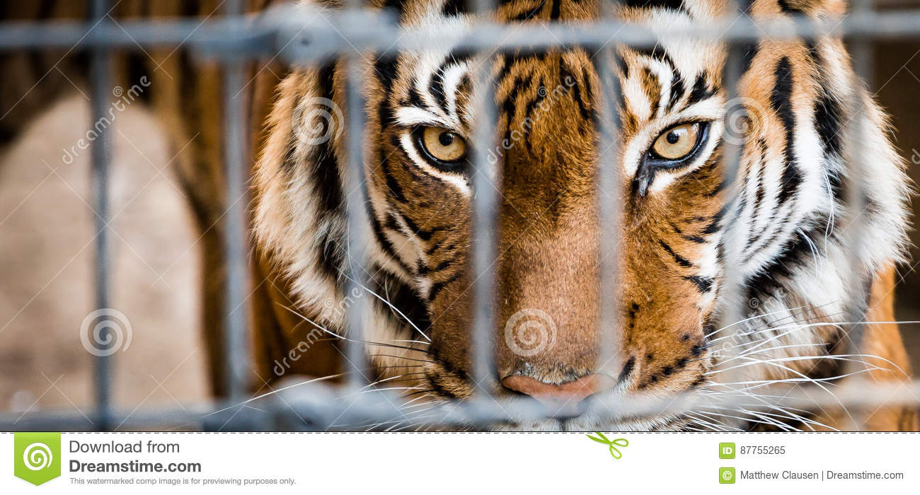 131 081 Tiger Photos Free Royalty Free Stock Photos From Dreamstime
