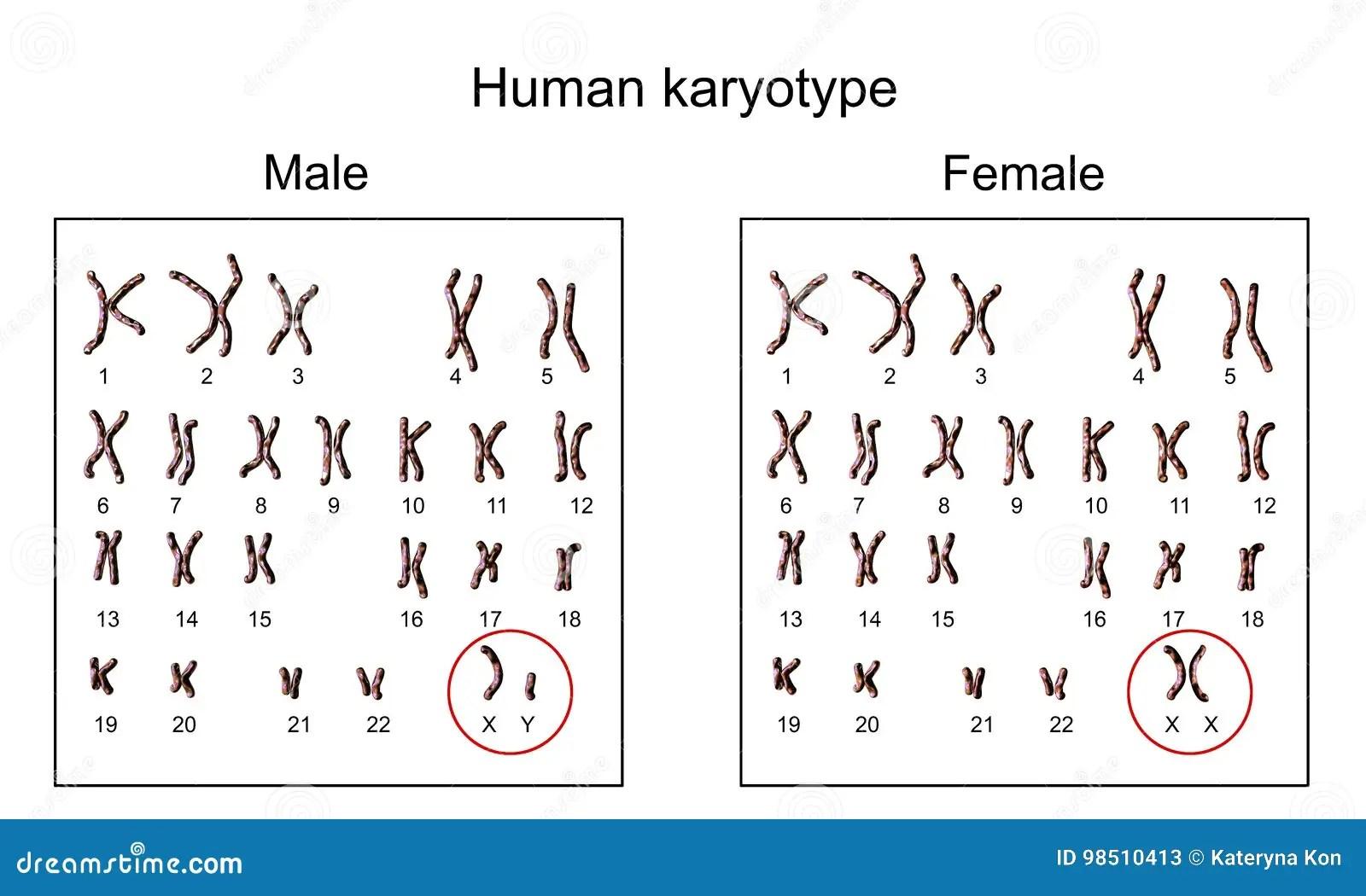 Male And Female Karyotype Stock Illustration Illustration