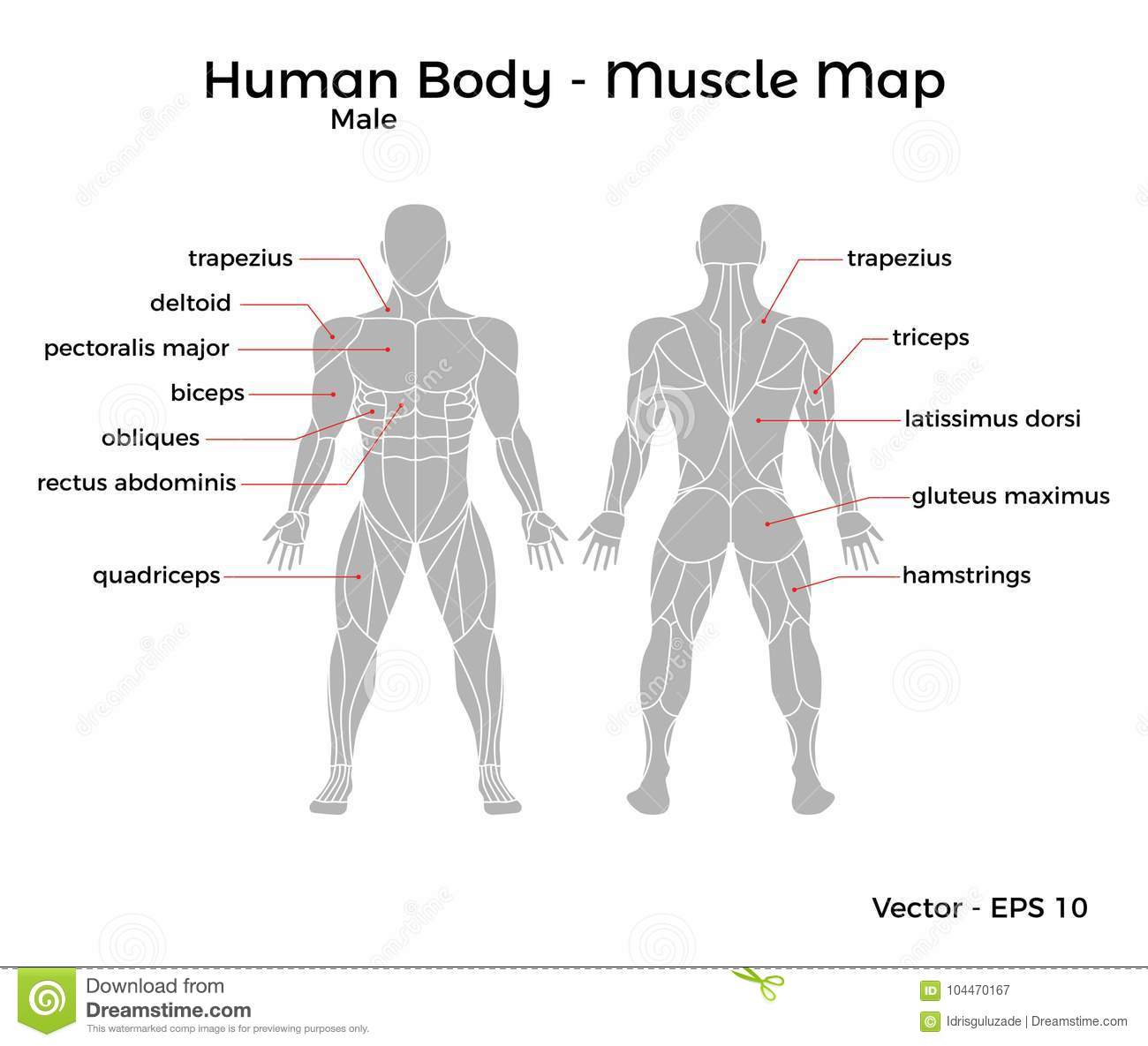 Male Human Body Muscle Map Stock Vector Illustration Of
