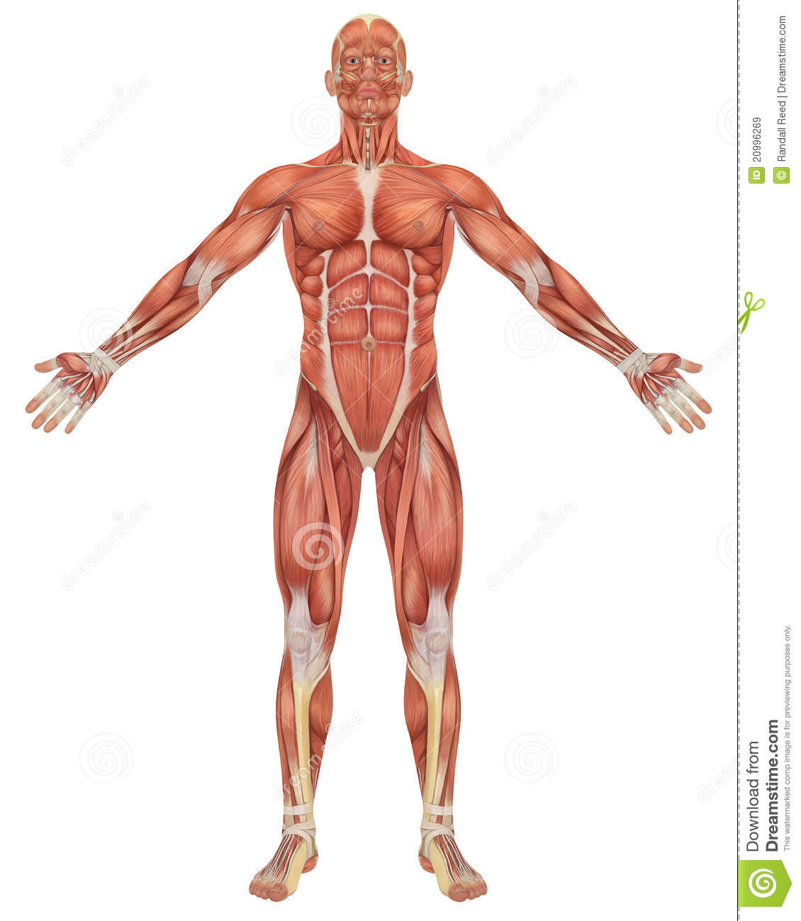 Male Muscular Anatomy Front View Royalty Free Stock Images