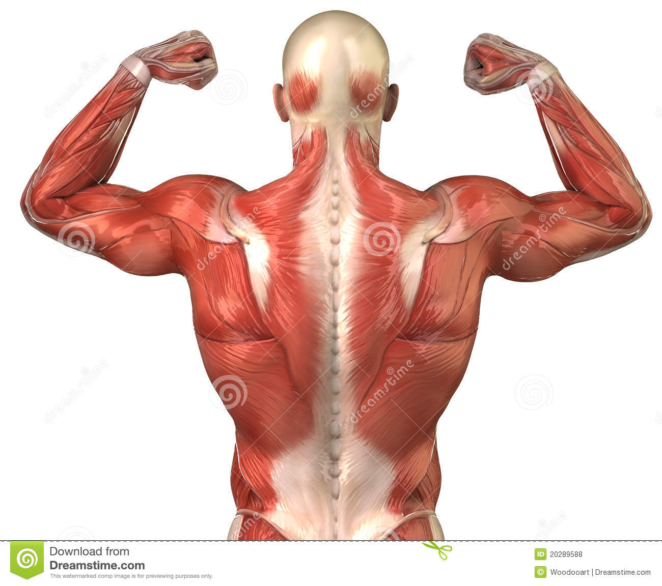 Man Back Muscular System Posterior In Builder Pose Stock