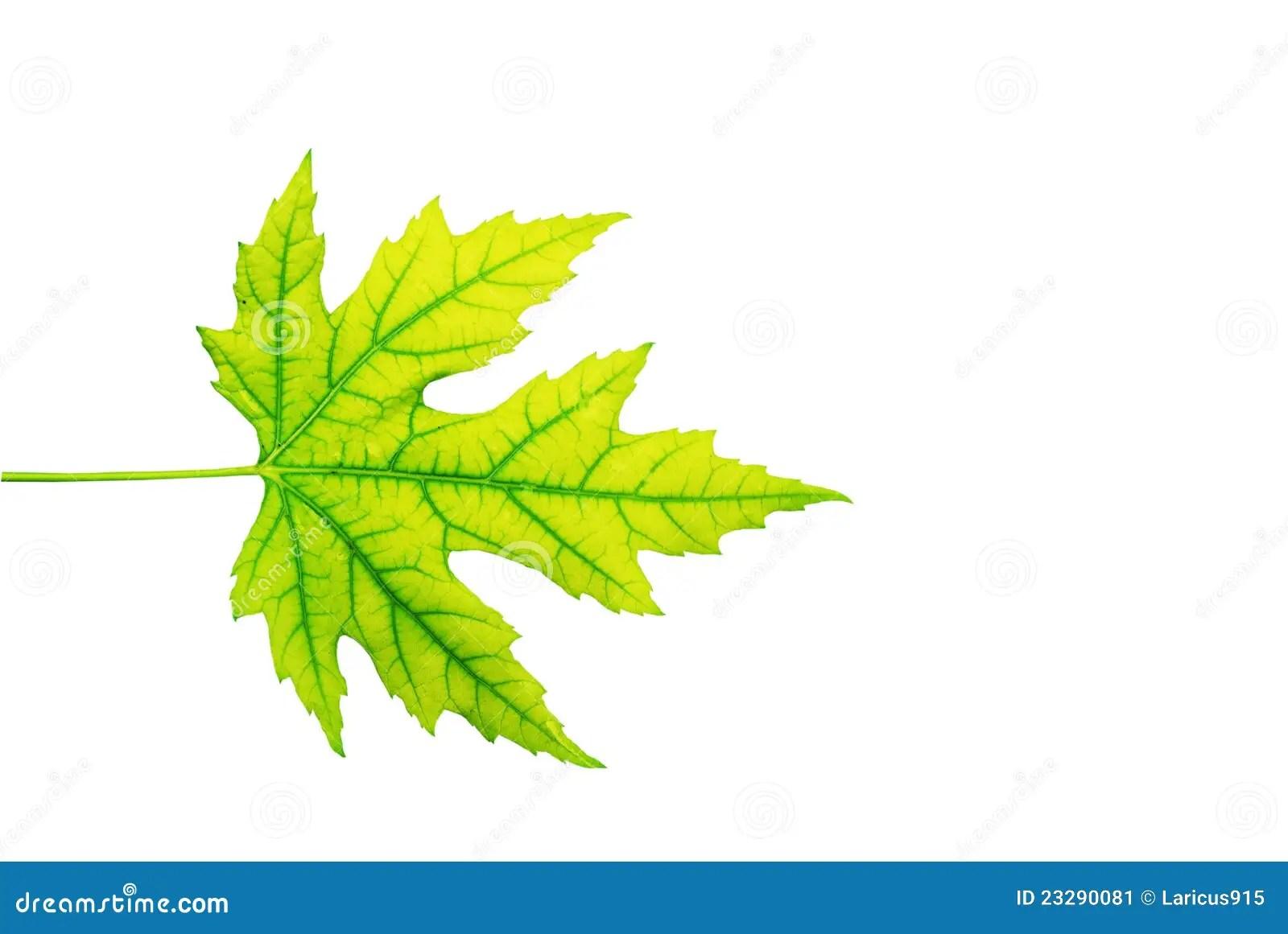 Maple Leaf Stock Image Image Of Maple Leaf Worksheet