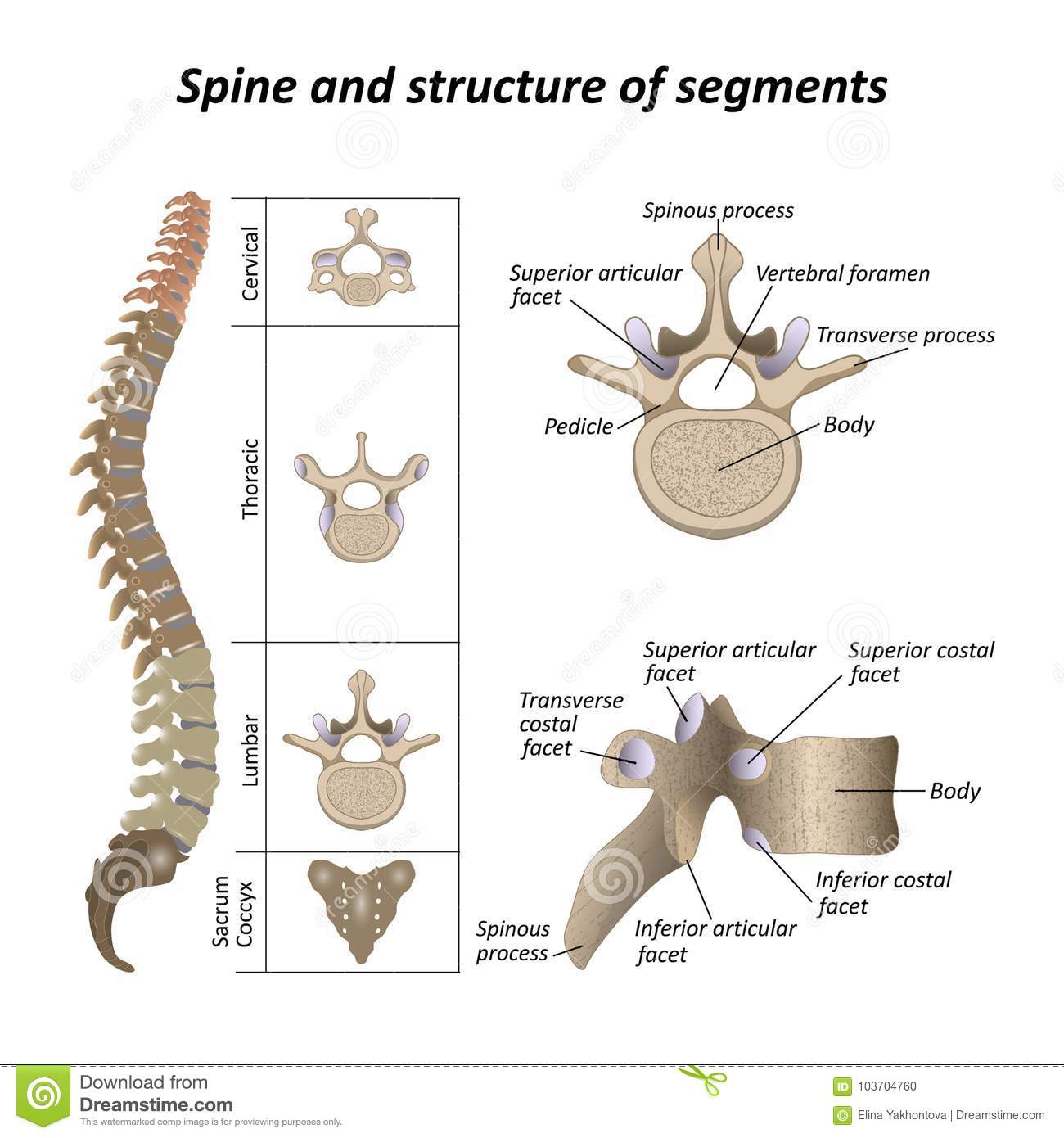 Medical Diagram Of A Human Spine With The Name And