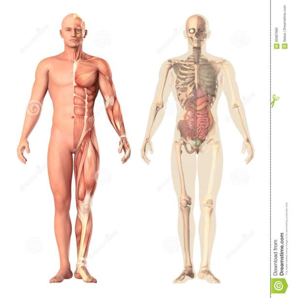 Medical Illustration Of A Human Anatomy Transparency, View ...