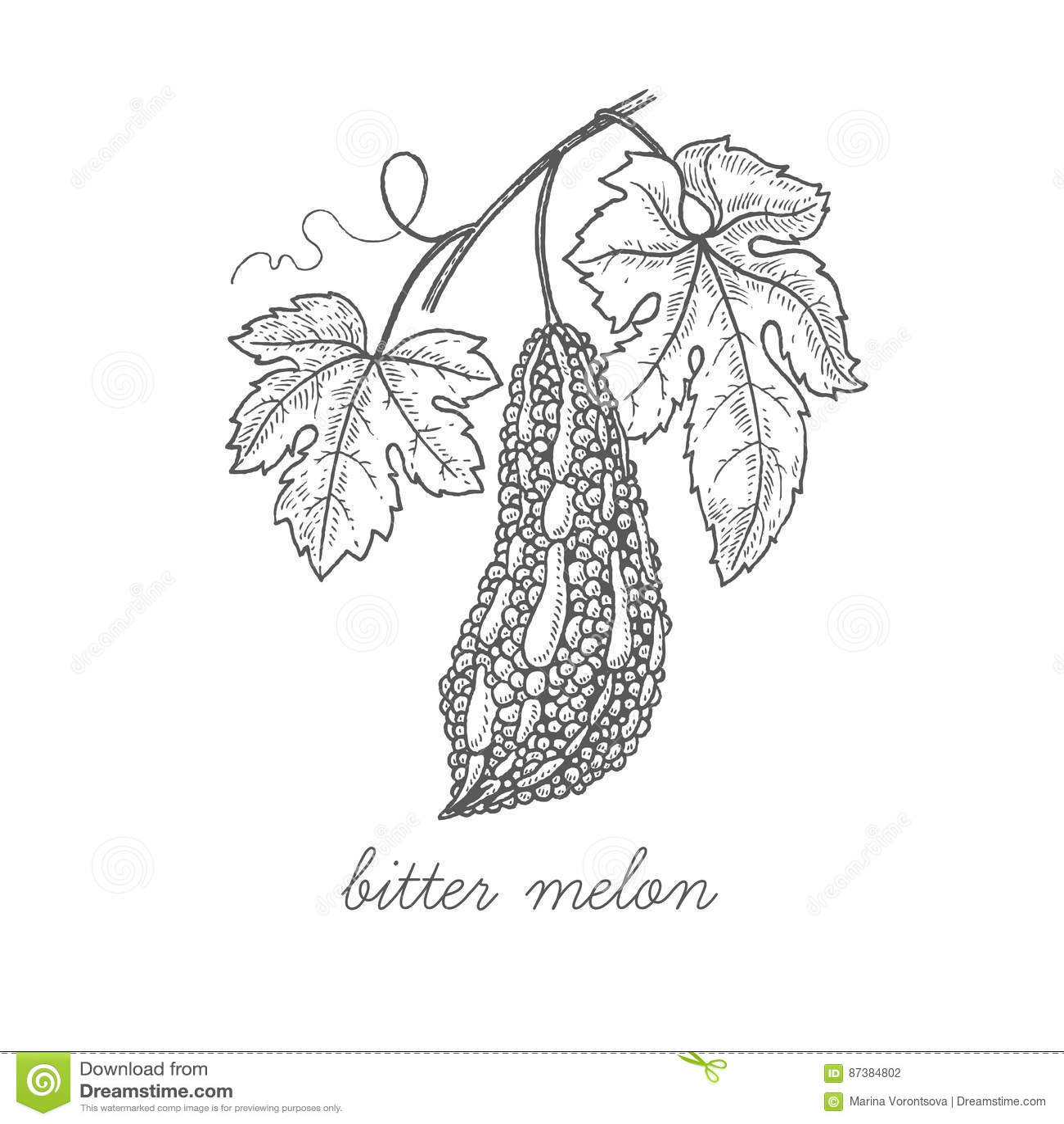 Medical Plant Bitter Melon Stock Vector