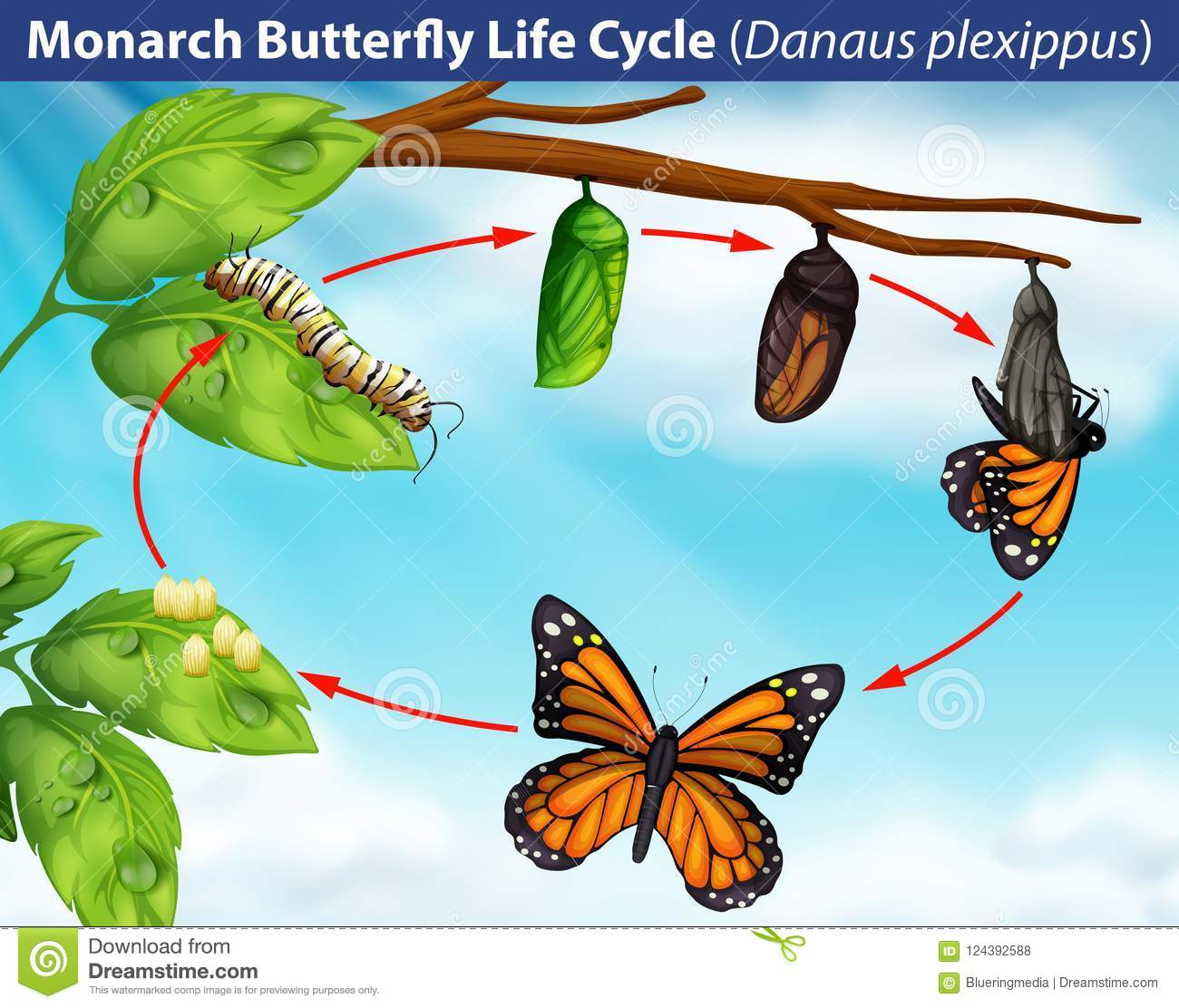 Monarch Butterfly Life Cycle Stock Vector