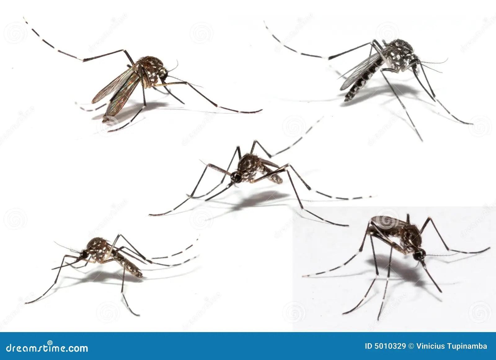 Mosquito Da Dengue Imagens De Stock Royalty Free