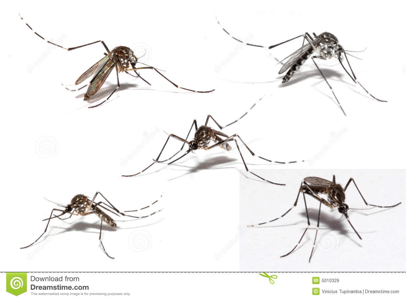 Mosquito Of Dengue Royalty Free Stock Images