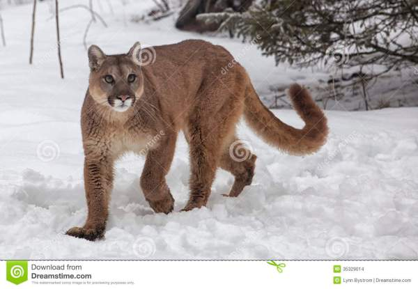 Mountain Lion Stock Images - Image: 35329014