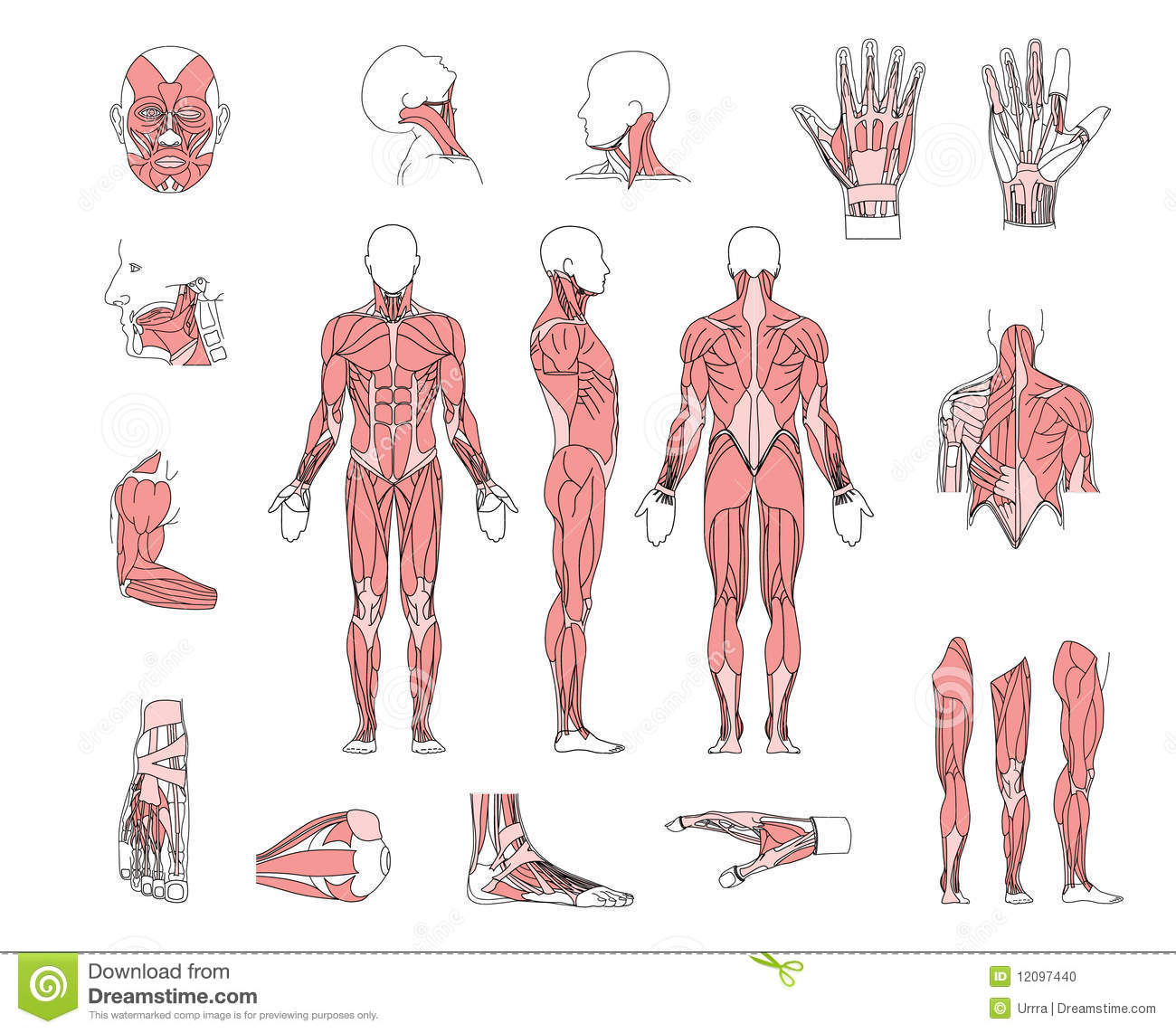 Muscle System Stock Vector Image Of Medical Musculature