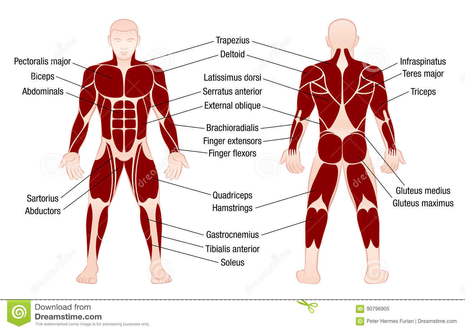 Muscles Chart Description Muscular Body Man Stock Vector