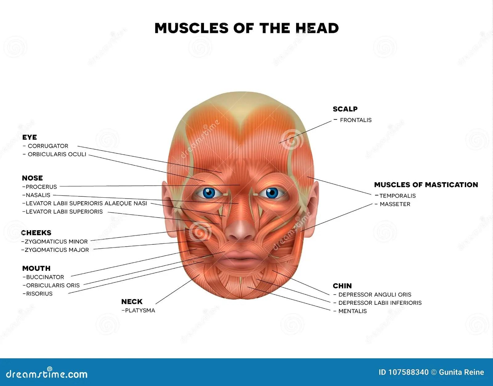 Muscles De Visage Et De Tete Illustration De Vecteur