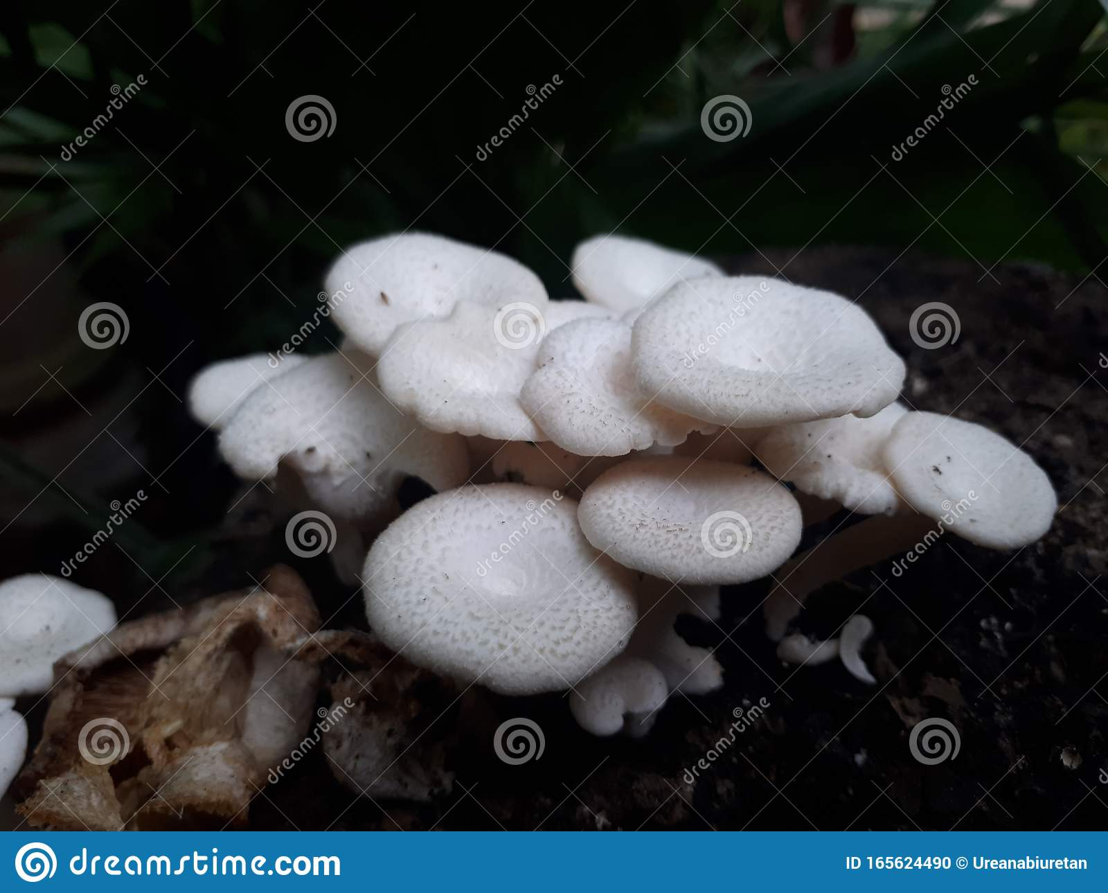Mushroom Growing After The Rain Came 3 Stock Photo