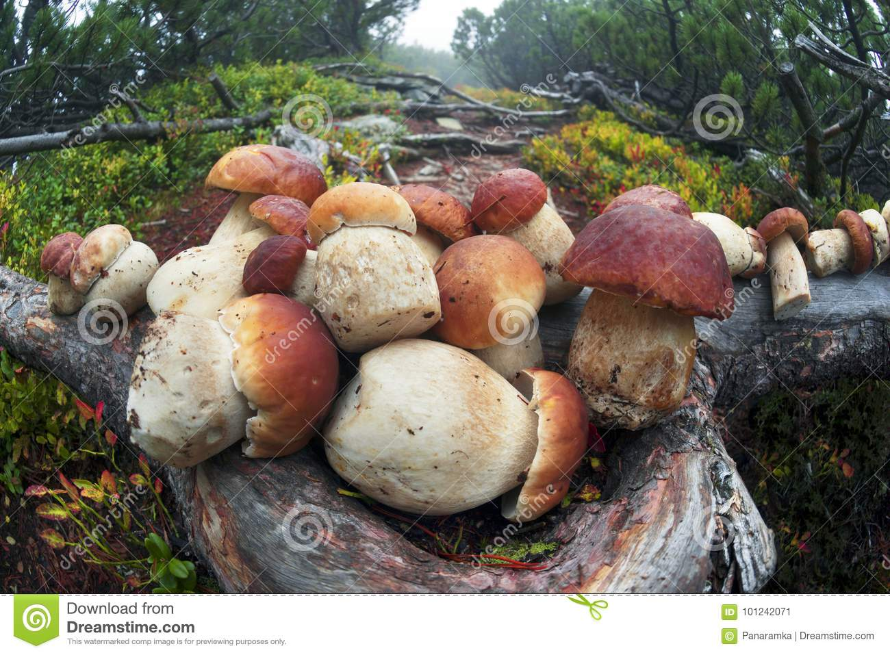 Mushroom Harvest After Rain In The Carpathians Stock Image