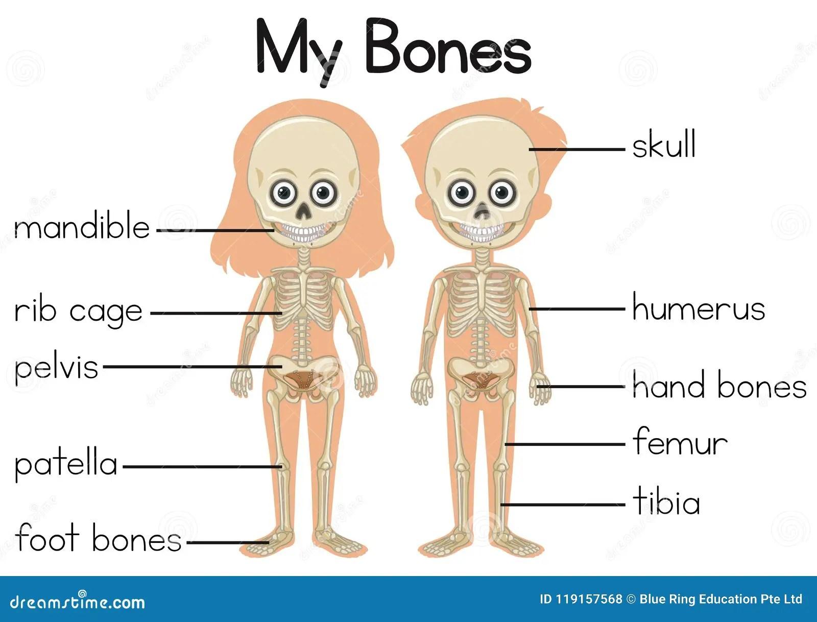 My Bones Diagram With Two Children Stock Vector