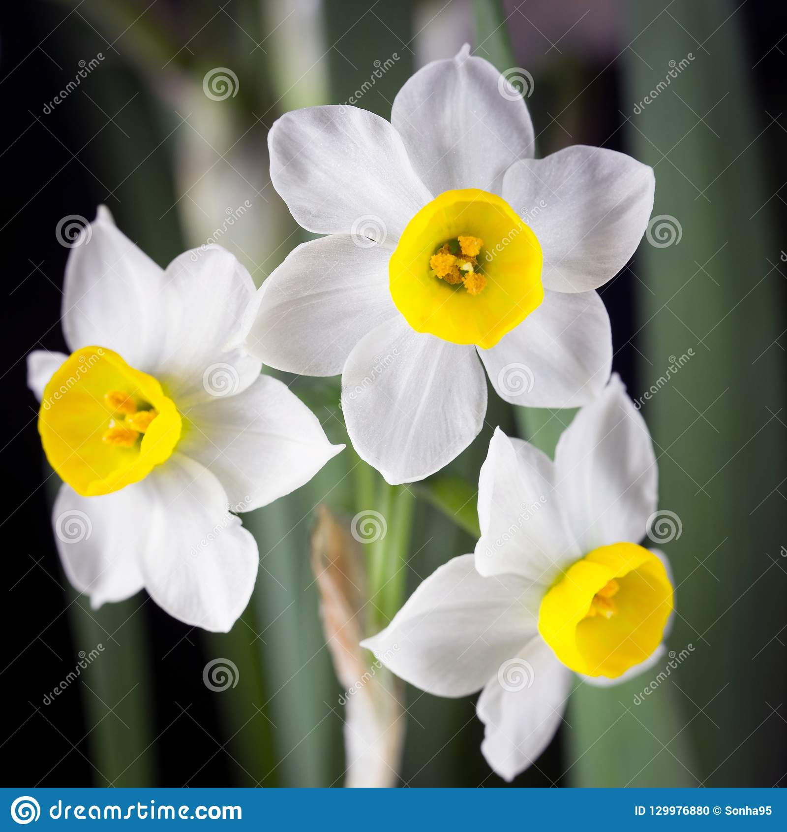 Narcissus Is A Beautiful Flower Stock Photo